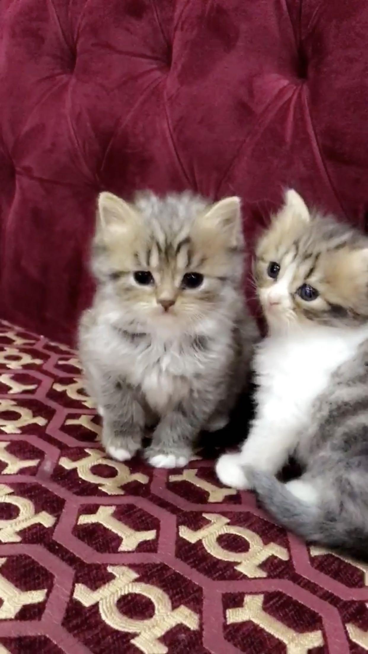 للبيع قطط بيرشن