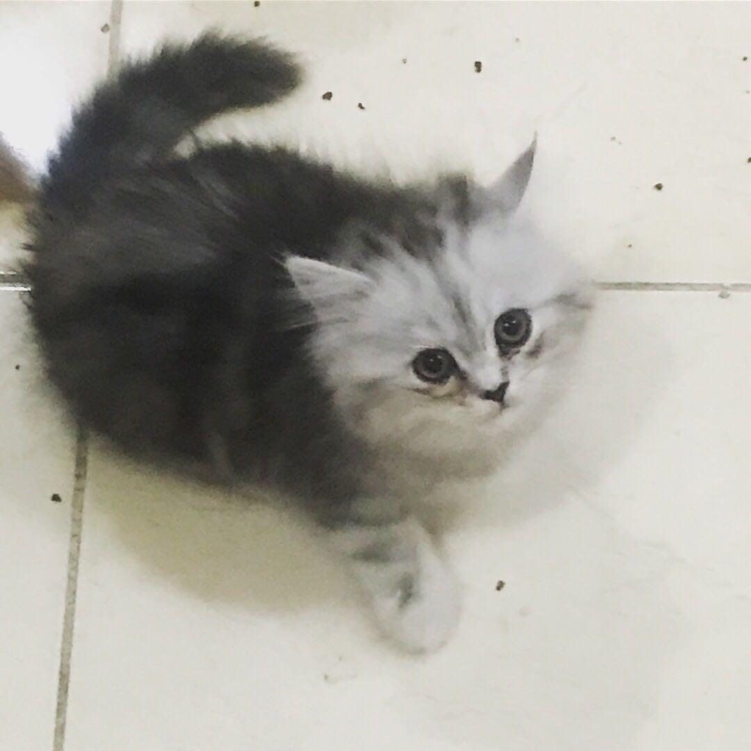 قطه شيرازيه انثى العمر شهرين
