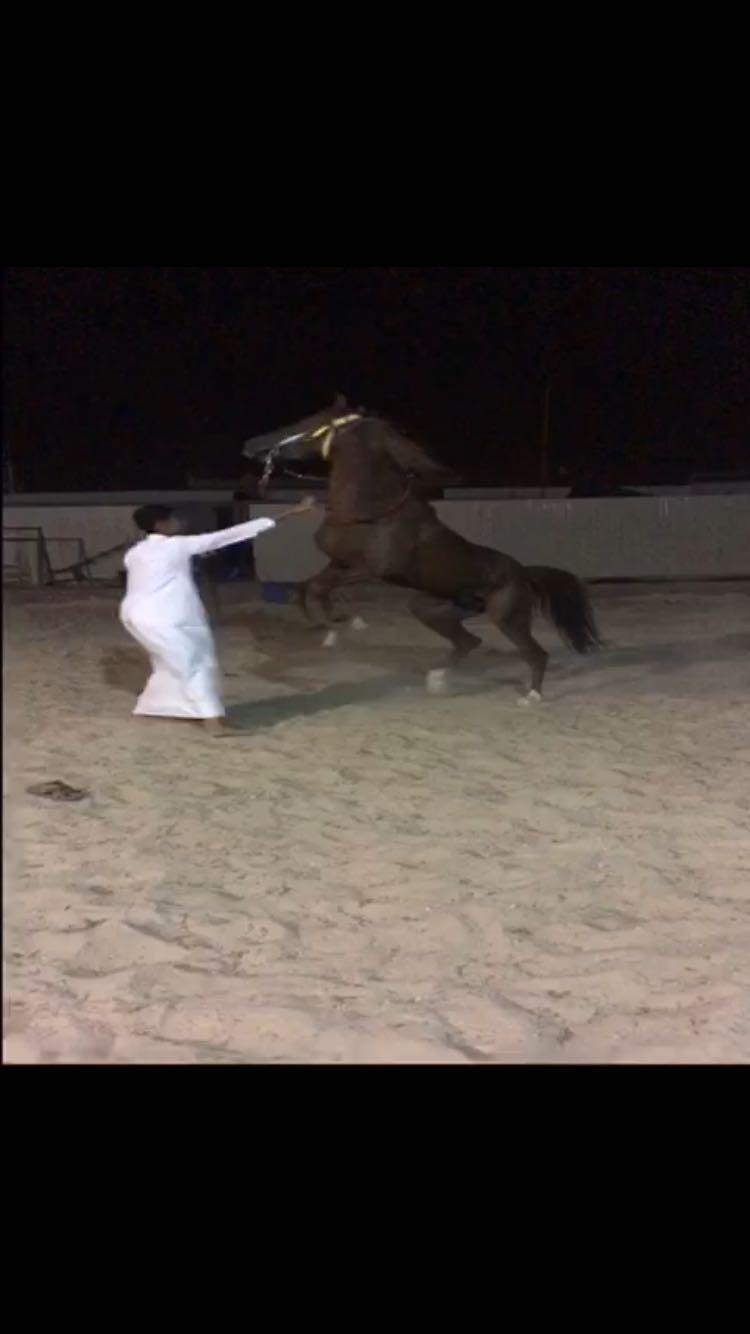 حصان بلدي شرط السلم