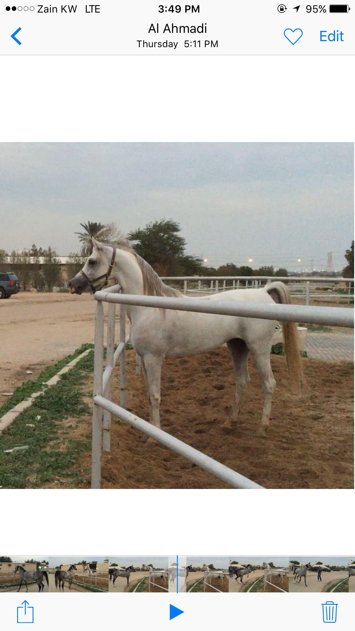 حصان واهو شرط السلم عساف جديد