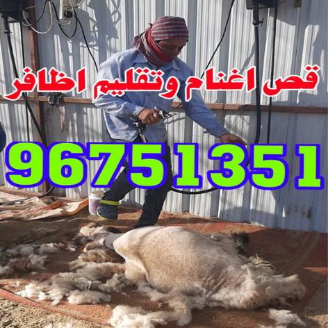 جزغنم-جزصوف-تقليم اظافر-حلاق غنم 96751351